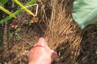6 Gründe, Tannennadelmulch in essbaren Gärten zu verwenden