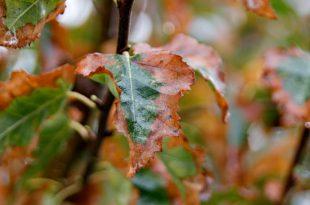 Blattbrand- und Windaustrocknungsschäden