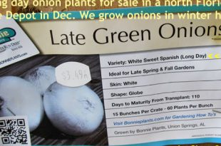 Rezept für das Scheitern: Langtag Zwiebeln in Florida.