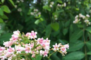 Spreading Dogbane: Weed oder Wildflower? Von Vicki Barney