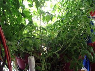 Zufällige Indoor- / Outdoor-Tomaten Fortsetzung von Ed Powers