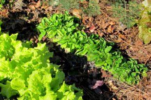 Mâche oder Feldsalat, ein leicht anzubauender Spinatersatz