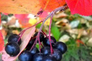Permakultur Pflanzen: Aronia oder Chokeberry