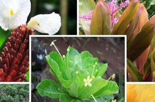 Nationaler tropischer botanischer Garten-Limahuli Garten u. Konserve: Kauai, Hawaii