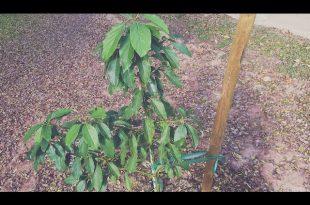 Wie man einen Avocadobaum in der Wüste anbaut!