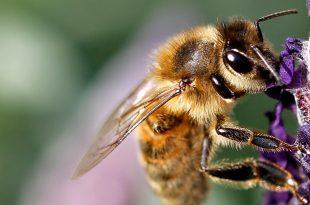 Bee-Friendly Gardens: Auswählen von Pflanzen, um Bienen anzuziehen und zu fördern