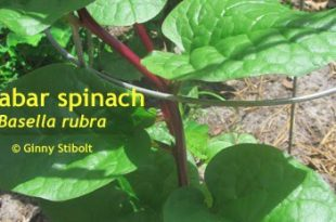 Malabar spinach: a hot weather crop