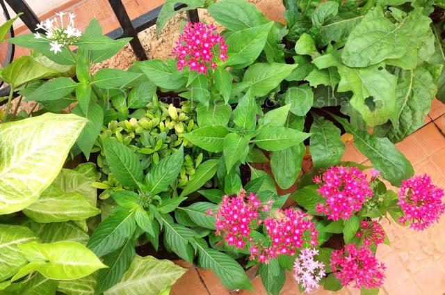 Pentas In meinem Garten