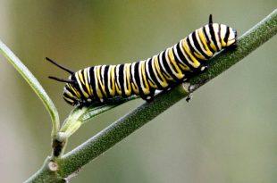 Wachsende Schwanpflanze (Milkweed) für Monarchen