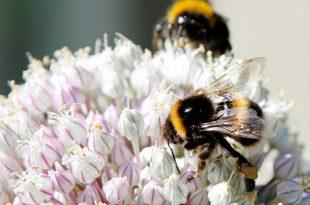 Bee-Friendly Gardens: Tipps zum Erstellen einer bienenfreundlichen Umgebung