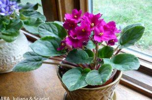 Usambaraveilchen - meine Wahl für Zimmerpflanzen von Ed Powers zu genießen