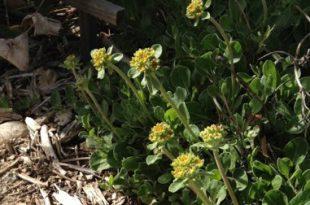 Meine Lieblings-Steingartenpflanze: Eriogonum umbellatum, Sulphur-flower Buchweizen Von Lorrie Redman