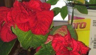 Pflege für Winter blühende Innenpflanzen von Jan Boone