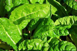 Spinat erfolgreich und nacheinander anpflanzen - ein Bonus-Ansatz Von Jan Fedrizzi Eagle County Master Gardener